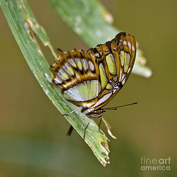 Heiko Koehrer-Wagner - Butterfly Siproeta Stelenes