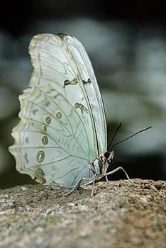 Tam Ryan - Butterfly Spirit