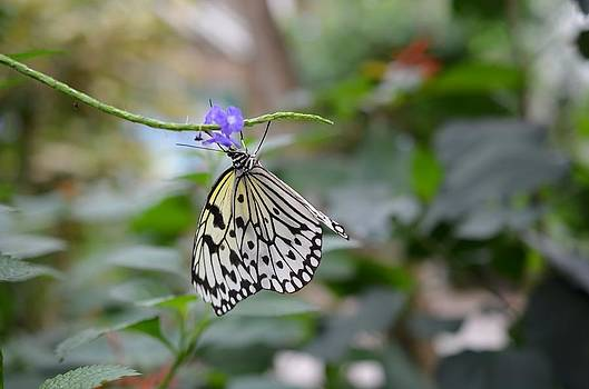 Butterfly Splendor by Chandra Wesson
