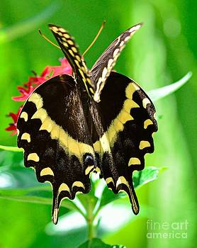 Wayne Nielsen - Butterfly Swallowtail Double Winges Caught Open Papillio Polyxenes Palamedes