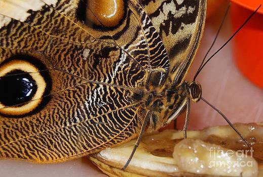 Gail Matthews - Butterfly tasting bananas