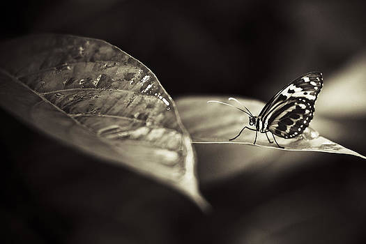 Butterfly Warm Tone by Bradley R Youngberg