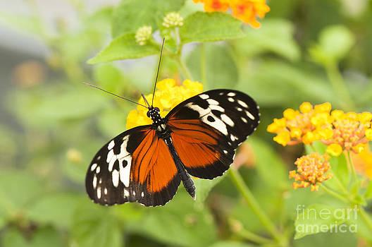 Anne Gilbert - Butterfly Wings