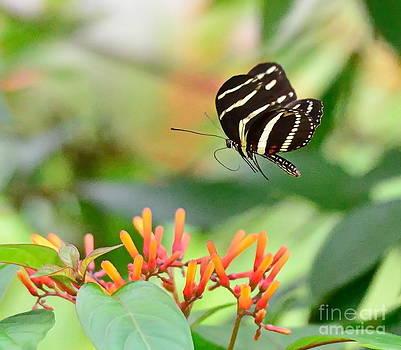 Wayne Nielsen - Butterfly Zebra Flies