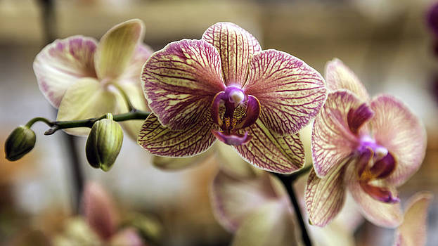 Buttery Yellow and Magenta Orchids by Lynn Palmer