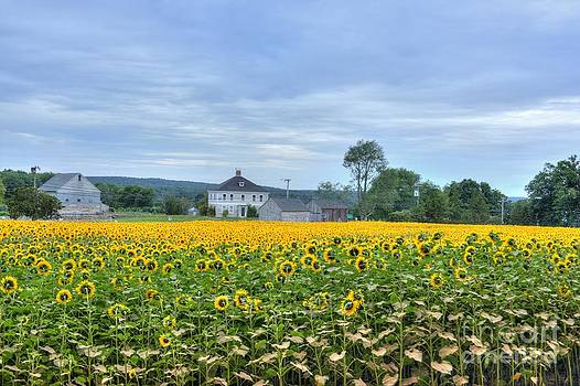 Buttonwood Sunflower Farm by Marcel  J Goetz  Sr