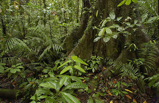 Pete Oxford - Buttress Roots In Rainforest Yasuni