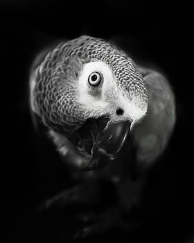 BW Congo African Grey Kaja by Paulina Szajek