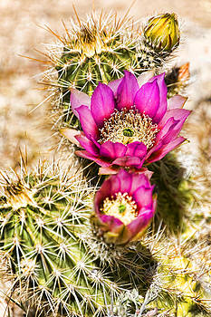Cactus Flower by Andrea King