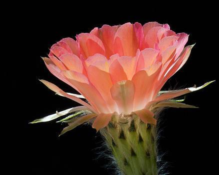 Cactus Flower by Steve Kaye