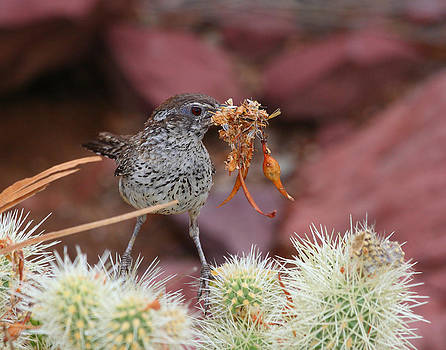 Cactus Wren building a Nest by Old Pueblo Photography