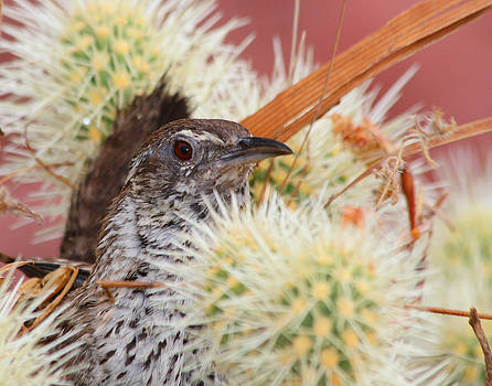 Cactus Wren in Cactus by Old Pueblo Photography