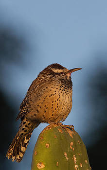 Cactus Wren in early morning light by Bob Kemp