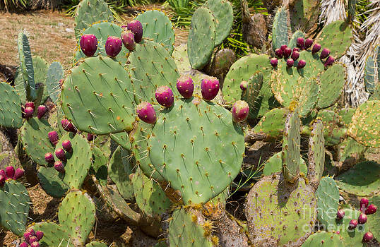 Cactuses Cactaceae Opuntia with fruits by Kiril Stanchev