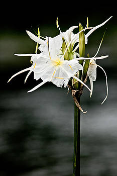Cahaba Lily 2 by Phillip Burrow
