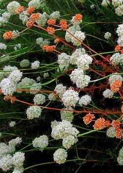 Cahuenga Peak buckwheat by David Olson