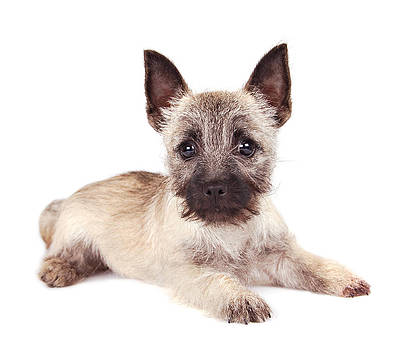 Cairn Terrier Puppy by Perry Harmon