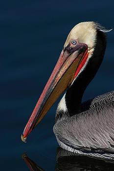California Brown Pelican Portrait by Ram Vasudev