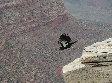 Jayne Wilson - California Condor Taking Flight