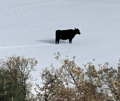 California Cow by Judith Szantyr