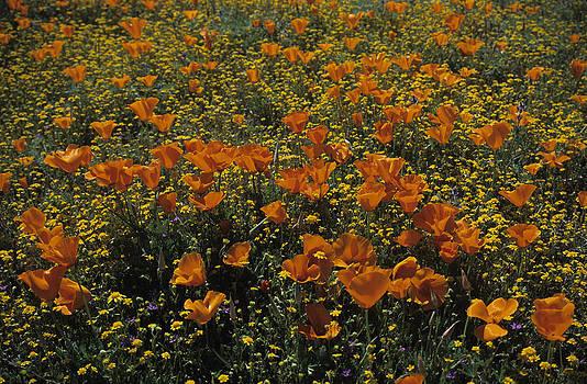 Susan Rovira - California Gold Poppies