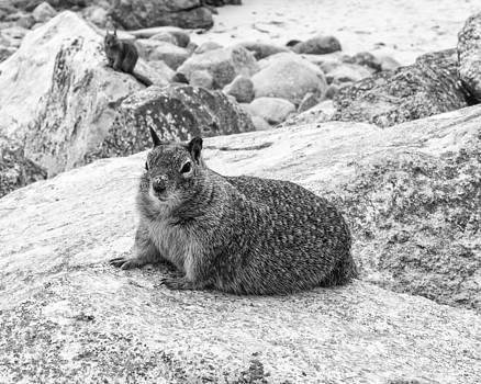 Priya Ghose - California Ground Squirrel In Black And White