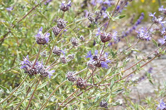California Native Plants Celestial Blue Sage by Kathy Vilim