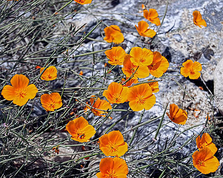 California Poppies by William Havle