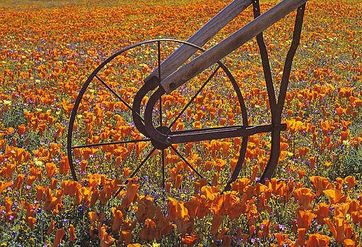 Susan Rovira - California Poppy Field