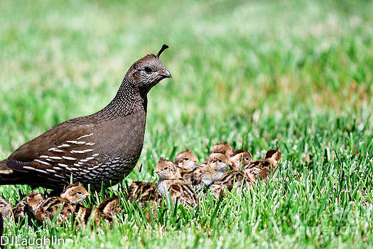 California quail Mom by DJ Laughlin