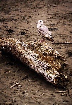 California Seagull by Rafael Escalios
