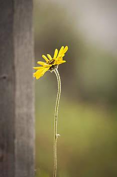 California Sunflower by Nazeem Sheik