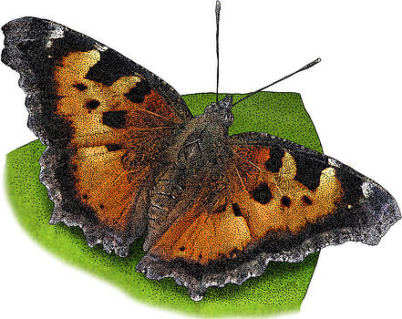 California Tortoiseshell Butterfly by Roger Hall