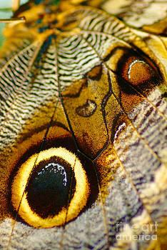 Caligo atreus by Floyd Menezes