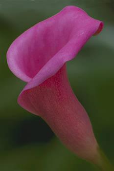 Calla Beauty by Nancy Myer