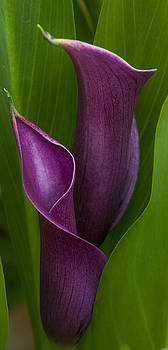 Calla Lilies Among the Green by Nancy Myer