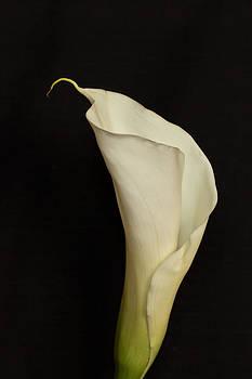 Bonnie Davidson - Calla Lily