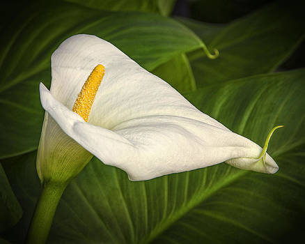 Calla Lily by Jeanne Hoadley