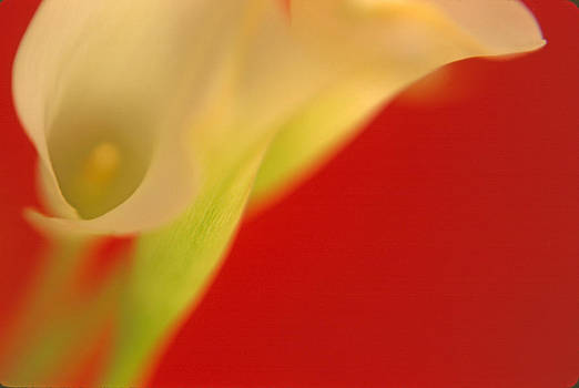 Callas on Red by Bruce Rolff