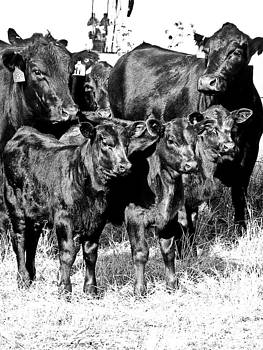 Calves by Kelli Chrisman