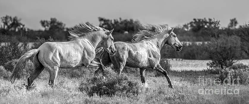 Camargue Stallions by Heather Swan