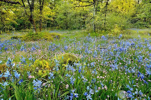 Camassia flower field by Steve Terrill