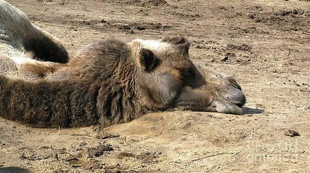 Camel Nap by Ausra Huntington nee Paulauskaite