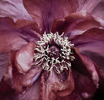 Frank Tschakert - Camellia