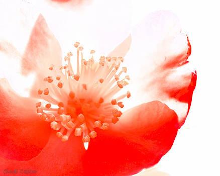 Cindi Castro - Camellia no.3