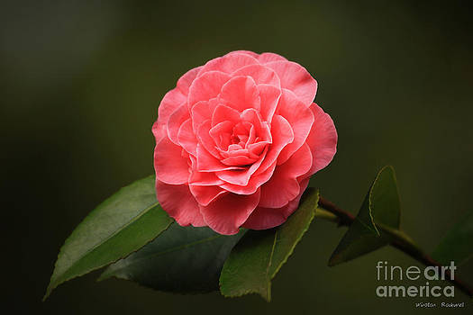 Camellia by Winston Rockwell