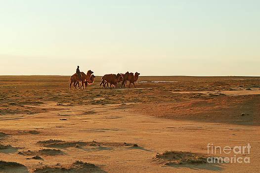 Camels. by Alexandr  Malyshev