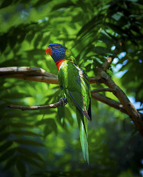 Wayne Stacy - Camo Macaw