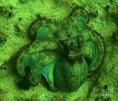 Adam Jewell - Camoflauged Octopus