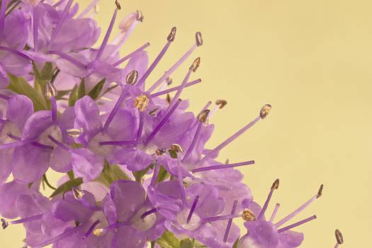 Sandra Foster - Campanella Flower Macro